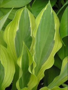 "Hosta 'Hanky Panky' PP16217 -Leaves up close - Height 13"", Spread 33"", Full-Part shade. Small-med sized hosta. A sport of 'Striptease'. Emerges in spring with dark green leaves and a pale lime edge; a narrow white thread separates the center from the margin.  As the summer progresses, the edge lightens to near-white with an unusual pale green overlay.  Lavender flowers appear in midsummer. A vigorous grower  info via PerennialResource  photo by Walters Gardens"