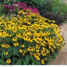 How and why to deadhead black-eyed Susans (and other perennials) to keep them blooming better. From Garden Gate magazine.