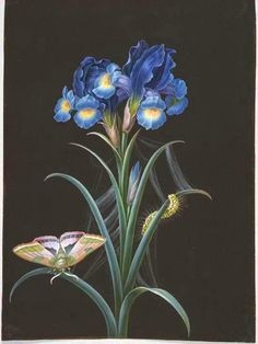 heaveninawildflower:   Iris by Johann Christoph Bayer (1738-1812). Source - vintageprintable