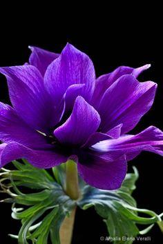 Purple Anemone on Black Background Wonderful Flowers, All Flowers, Exotic Flowers, Fresh Flowers, Purple Flowers, Beautiful Flowers, Purple Garden, Floral Photography, Belleza Natural