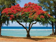 Tropical Flame Tree on the beach!