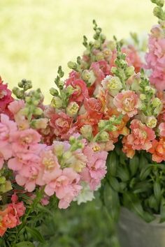 We love Chantilly snapdragons! They smell like candy and the pastel colours are beautiful. Cut Flower Garden, Flower Farm, Pastel Colours, Colors, Good Shabbos, July Flowers, Flower Names, Peach Trees, Types Of Flowers