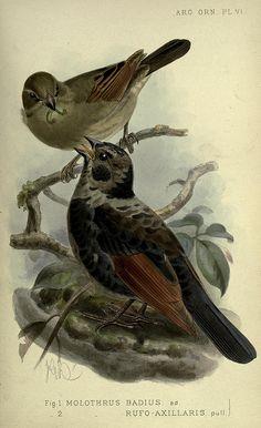 Argentine ornithology..  London :R. H. Porter,1888-89