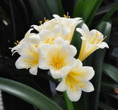 Clivia cream ex Solomone Pink (c) copyright 2011 by James E. Shields.  All rights reserved.
