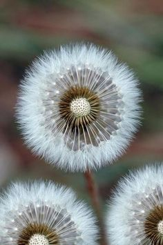 dandelion white. B.