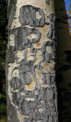 Tree Bark -Aspen in Southern Alberta, Canada; photo by .Lawrence Spencer