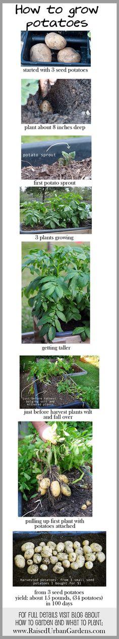 How to grow potatoes
