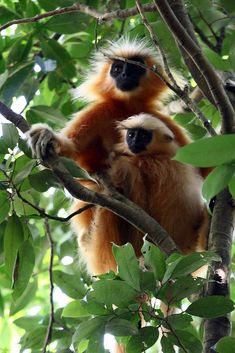 Gee's golden langur (Trachypithecus geei), or simply the golden langur, is an Old World monkey found in a small region of western Assam, It is one of the most endangered primate species of India. Long considered sacred by many Himalayan people, the golden langur was first brought to the attention of science by the naturalist E. P. Gee in the 1950s.  The golden langur has a black face and a very long tail. The coat of the adult golden langur ranges from cream to golden.
