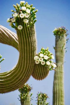 Saguaros in bloom. Succulent Gardening, Cacti And Succulents, Cactus Plants, Desert Flowers, Desert Plants, Cactus Blossoms, Cactus Flower, Beautiful Gardens, Beautiful Flowers