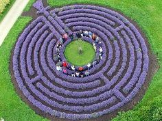 Lavender Labyrinth - so much better than those found in the usual corn or wheat fields. Imagine the intoxicating aroma ...
