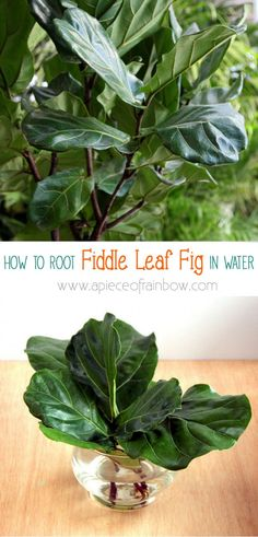 How to root Fiddle Leaf Fig from stem or leaf cuttings! Now you can have the one of the most gorgeous indoor plants and propagate it for every room! - A Piece Of Rainbow Blog