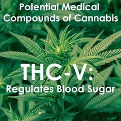 THCV may help with diabetes. Research shows promise in THCV's ability to regulate blood sugar levels and reduce insulin resistance. #Curediabetes #marijuanabusiness #Marijuanasupplier ‬‬‬ #‎MedicalMarijuana‬‬‬ ‬‬‬#‎PotValet‬‬‬ ‬‬‬ #‎LosAngeles‬‬‬ #cannabisculture #cannabiscures #legalcannabis #SupportMarijuana #‎Medical‬‬‬ #‎Marijuana‬‬‬‬‬‬‬‬‬‬‬‬‬‬‬‬‬‬‬‬‬ #LegalizeMarijuana