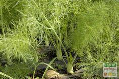 Le fenouil (foeniculum vulgare) est un légume de la famille des apiacées. Il est originaire du pourtour du bassin méditerranéen et d'Asie mineure. Cette jolie plante s'élève jusqu'à 1 ou 2 mètres de hauteur et porte de nombreuses feuilles très découpées et des fleurs disposées en ombelles. http://www.jardipartage.fr/fenouil-culture/