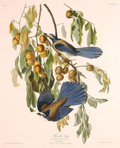 "The Birds of America, Plate #87: ""Florida Jay"", John James Audubon, 1827–1838, Gift of Mr. and Mrs. Gordon Hanes"