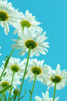 White Daisies on Aqua by Pink Sherbet Photography on Flickr.