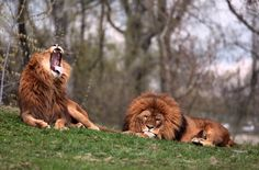Two lions rest at a zoo in Warsaw, Poland on April 17