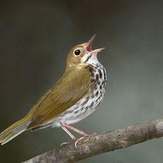 Ovenbird | World of Animal