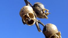 Seed pods that look like skulls. Chrysanthemums that resemble spiders. Orchids with the appearance of monkey vampires. Enjoy these freaky flowers.
