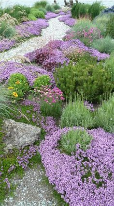 Purple thyme with lavender, pine, blanket flowers, clumps of iris, and ceanothus create the border for a rock path. Beautiful combination!