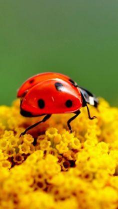 Ladybug - Macro