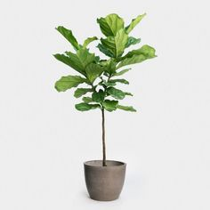 Ficus lyrata large standard in fiberstone egg pot