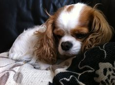 Cavalier King Charles Spaniel , pretty little Blenheim with an adorable thumb print on its head.