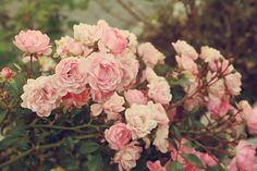 old scented rambling roses - the best