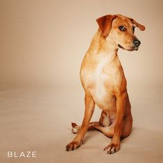 "01/28/17--HOUSTON - ""I may only have 3 legs, but my charisma and modeling abilities are dope AF."" Blaze is available for adoption through peacelovedogs."