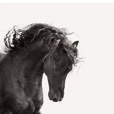 Friese;eine aus Westfriesland stammende,wunderschöne Pferderasse,die seit dem 16. Jahrhundert rein gezüchtet wird,aber schon von den Römern bewundernd erwähnt wird. Ach,und sie ist meine lieblings Rasse!!!