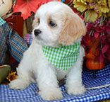 www.cavachonsbydesign.com Cavachon puppies for sale, Cavachon, Cavachons, Cavachon dog, Cavachon pups, Cavachon pup, Cavachons dogs for sale, Cavachon puppies, Cavachons for sale, Cavachon breeder, Cavachon breeders, Bichon, Cavachon Puppies, Dogs For Sale, Animals, Design, Animales, Animaux, Animal, Animais