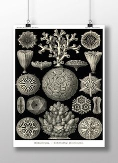 """This bright and colorful scientific illustration is from an Ernst Haeckel scientific illustration created during the HMS Challenger Expedition that took place between 1872 and 1876. 24 x 36"""""""