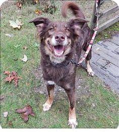 Silverdale, WA - Australian Shepherd Mix. Meet Cinnamon, a dog for adoption. http://www.adoptapet.com/pet/11821834-silverdale-washington-australian-shepherd-mix