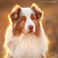australian shepherd dog by © Tosca Sütö, posted via www.equine-photo.de