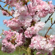Graceful, upright, columnar tree with small abundant deep pink blossoms, packed with up to 100 petals in mid to late spring. Leaves are bronze when they emerge, maturing to dark green in summer. Variety Information Ha Cherry Blossom Tree, Pink Blossom, Blossom Trees, Blossoms, Colorful Flowers, Pink Flowers, Compost Soil, Columnar Trees, Root System
