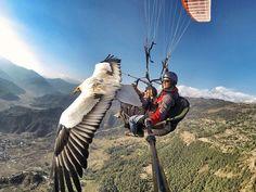 Parahawking- Flying Like A Bird...With A Bird ....  #paragliding , #adventure , #adventuretravel , #himalayas , #ExtraHyperActive, #HyperActiveX