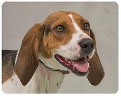 Pet Adoption has dogs, puppies, cats, and kittens for adoption. Livonia Michigan, Treeing Walker Coonhound, Pet Adoption, Puppies, Dog, Pets, Animals, Diy Dog, Animaux