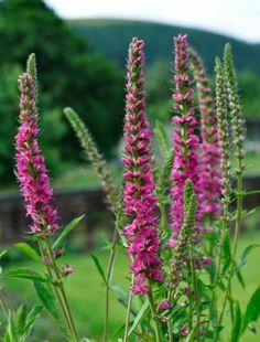 Veronica spicata 'Red Fox' Speedwell.   Claire Austin. Irises, peonies and perennials.