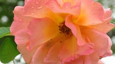 One of our roses  artfromperry