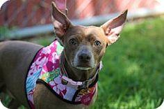 Fountain Valley, CA - Chihuahua/Dachshund Mix. Meet CoCo, a dog for adoption. http://www.adoptapet.com/pet/17308874-fountain-valley-california-chihuahua-mix