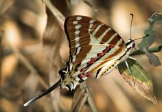 earthtone butterfly