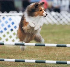 Sagebrush Shelties: Ch Sagebrush Little Big Man