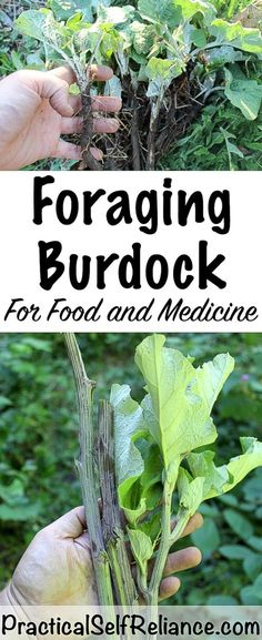 Herbal Medicine Foraging Burdock for Food and Medicine — Practical Self Reliance - Herbalists know that burdock root is powerful medicine, but most would be surprised to learn Healing Herbs, Medicinal Plants, Edible Wild Plants, Herbs For Health, Wild Edibles, Survival Food, Survival Prepping, Fall Plants, Thing 1