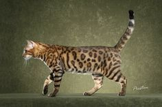 Bengal. Cross between a domestic cat and an Asian Leopard cat... They are so beautiful. I WILL have one before I die! ;)
