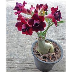 Desert Rose 'Black Window' (Adenium obesum hybrid) - Cacti & Succulents - Indestructible