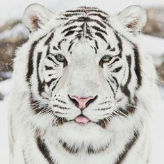The most beautiful Siberian Tiger #SaveOurTigers