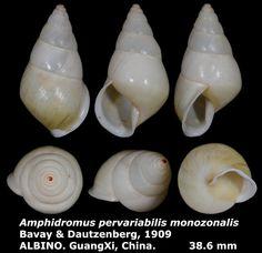 Dr. Lee's Gallery Museum: Amphidromus pervariabilis monozonalis 38.6mm ALBIN...