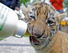Un cachorro de tigre siendo alimentado (© Reuters)