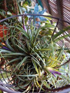 Flowering Airplant