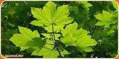 Kireçlenmeye Son  #Çınar Ağacı Türkiye'nin her bölgesinde yetişebilen uzun ömrü olan gövdesi oldukça kalın ve geniş yaprakları sahip bir bitki türüdür.  Bitkinin asıl kullanım alanı mobilya sektörü olmasına karşın son zamanlarda yaprağının oldukça faydalı olduğu ispatlanmış ve şifalı bitkiler arasına girmiştir.