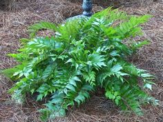 Japanese Garden Plants Names | Photo of Cyrtomium falcatum (Holly Fern, Japanese Holly Fern)